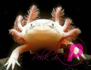 Axolotl | peristiwa pelik, ganjil, weird, mysterious MALAYSIA