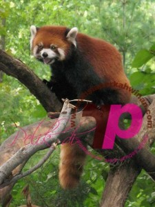 Panda merah | ReD Bear | peristiwa pelik, ganjil, weird, mysterious MALAYSIA