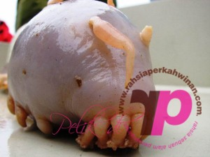 Sea Pig | Babi Laut | peristiwa pelik, ganjil, weird, mysterious MALAYSIA