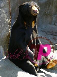 Beruang Matahari | Sun Bear | peristiwa pelik, ganjil, weird, mysterious MALAYSIA