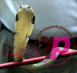 Ular Kapak | Ophiophagus hannah | peristiwa pelik, ganjil, weird, mysterious MALAYSIA