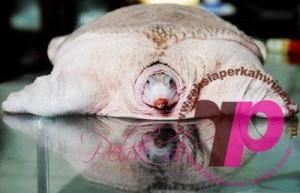 White turtle | Penyu Putih | peristiwa pelik, ganjil, weird, mysterious MALAYSIA